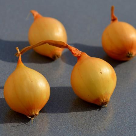 Oignon echalote et ail les bulbes a planter en automne ...