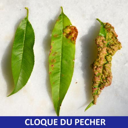 La cloque du p cher favoris e par les hivers doux et pluvieux comptoir des jardiniers - Maladie du pecher ...