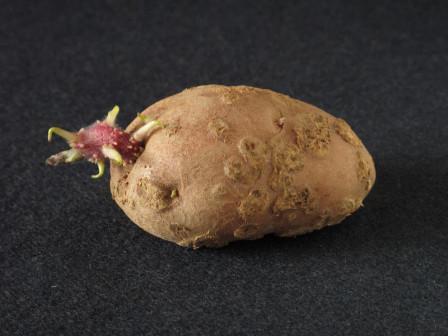 Comment faire germer vos plants de pomme de terre comptoir des jardiniers - Faire germer des pommes de terre ...