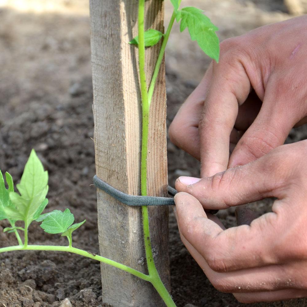 Tag plantation tomates comptoir des jardiniers - Plantation de tomates ...